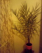Финиковая пальма (веерная)