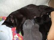 Продаю вислоухих и не только,  голубых и черных британских котят