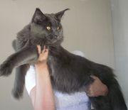 Питомник Best Company - котята мейн кун