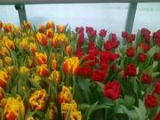 тюльпаны и гиацинты к 8 марта от производителя