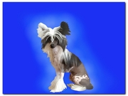 Продаются щенки Китайской хохлатой NIKA STARS