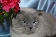 шотландский голубоглазый котик приглашает на вязку