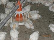 Заветненская птицефабрика