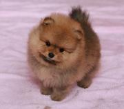Собачки миниатюрного померанского шпица