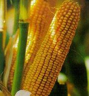 Семена кукурузы гибридные