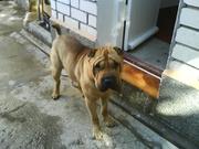 пропала собака шарпей 4 года,  мальчик,  окрас олений,  14 июля 2010 г. в